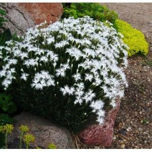 Gozdzik Berlin Snow Dianthus Albamar Plants Outdoor Outdoor Decor