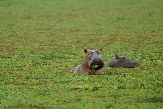 young hippo - Google Search