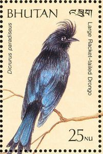 Greater Racket-tailed Drongo(Dicrurus paradiseus)