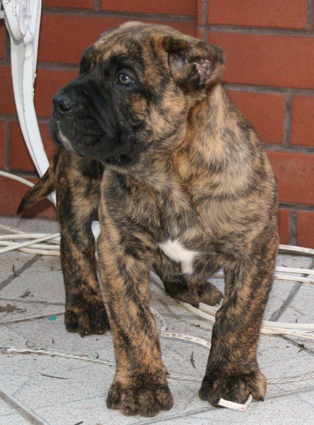 Presa Canario Kangal Dog Dog Breeds Dogs
