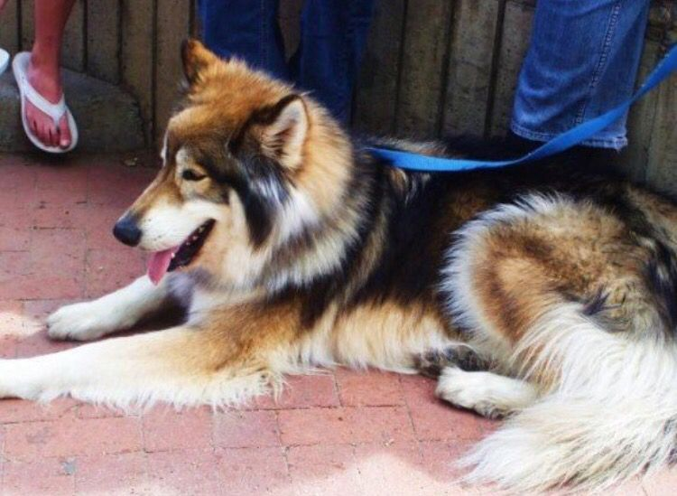 Gerberian Shepsky Mixed Breed Dogs Wolf Dog German Shepard