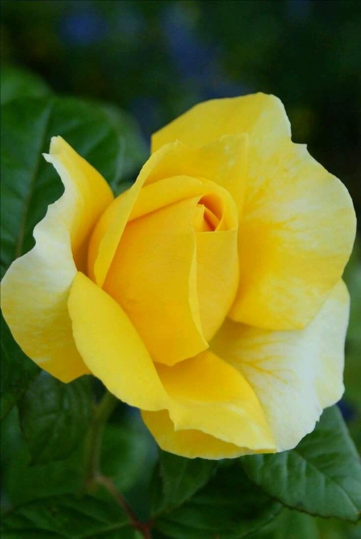 Pin by wind song mercantile on roses pinterest flowers flower yellow roses beautiful flowers flower arrangements spain gifs yellow landscapes flower arrangement pretty flowers mightylinksfo Images