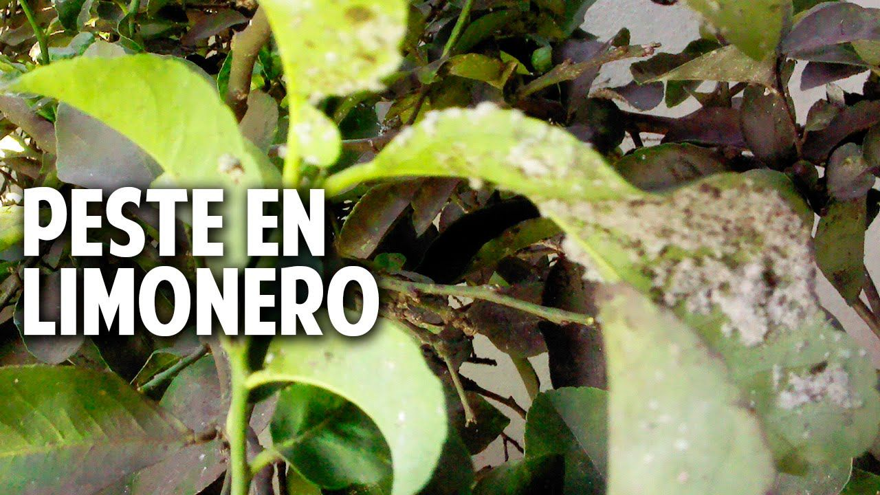 La mosca blanca del c troco es una plaga muy com n del for Como eliminar los mosquitos del jardin