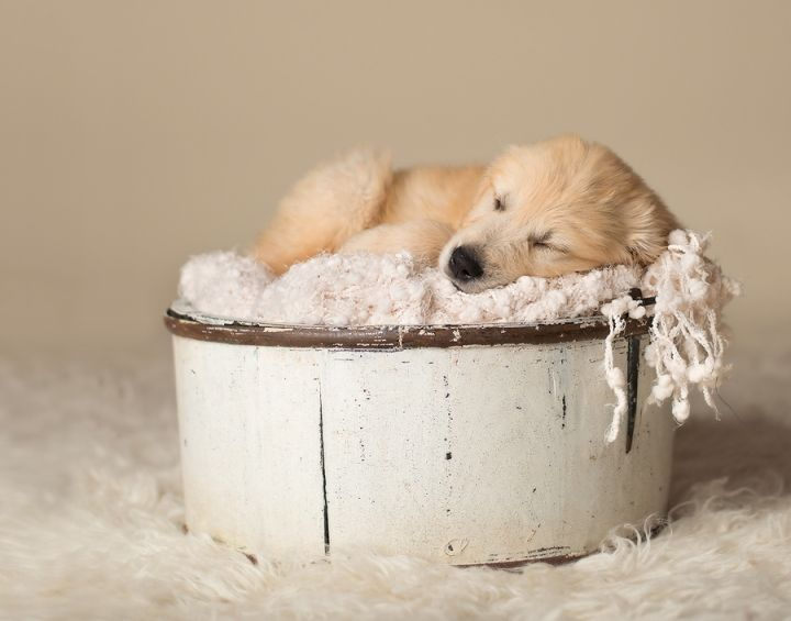 Newborn Puppy Professional Photos Baby Golden Retriever Newborn