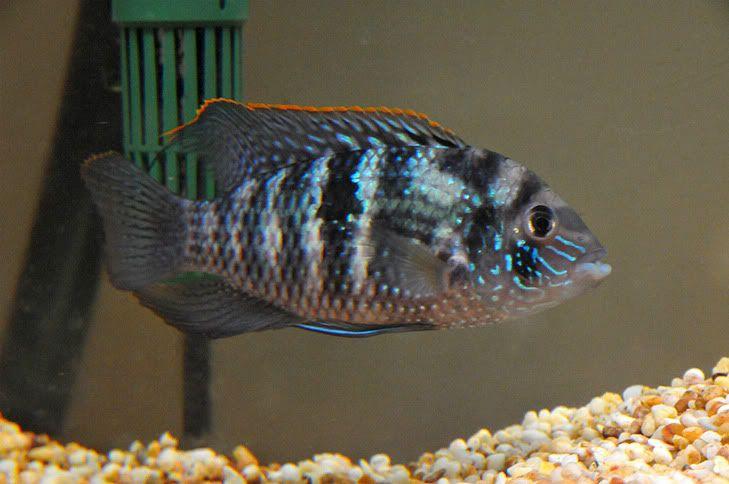 Blue Acara, South American Cichlid