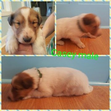 Litter Of 9 Collie Puppies For Sale In Huntingdon Tn Adn 23533