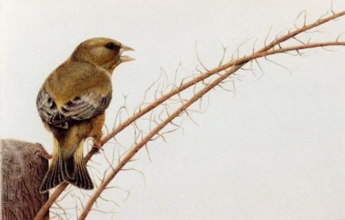 Greenfinch by Nick Day