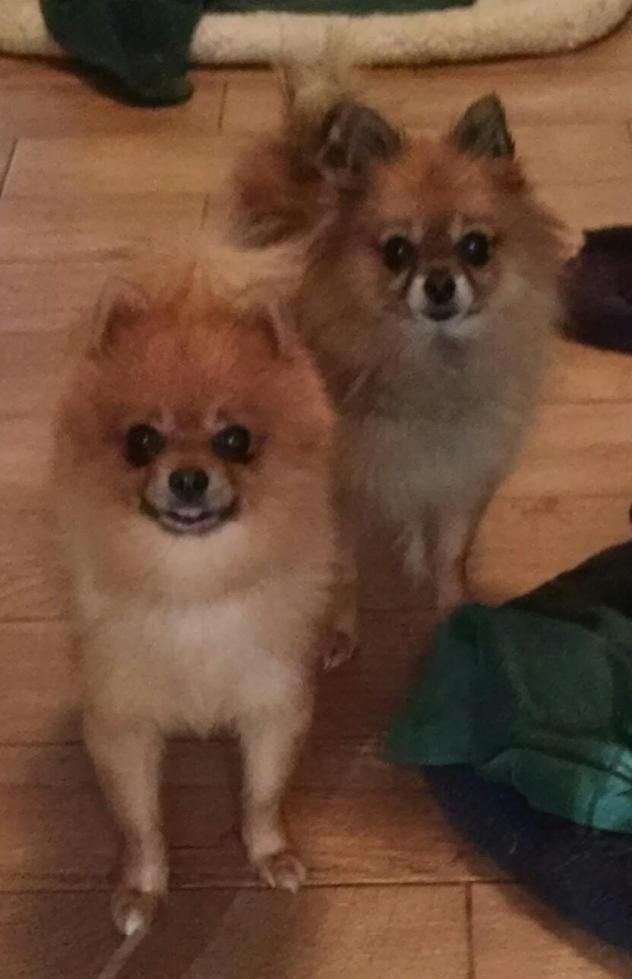 Adopt Rhett Must Be Adopted With Scarlette On Pomeranian Dog Adoption Fur Babies