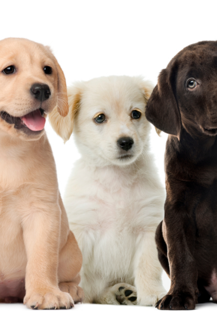 Groups Of Dogs Labrador Puppies Puppy Chocolate Labrador Retriever In Front Of White Background Labradorretriever Labrador Retriever Labrador Labrador Dog