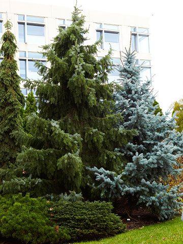 spruce evergreen garden