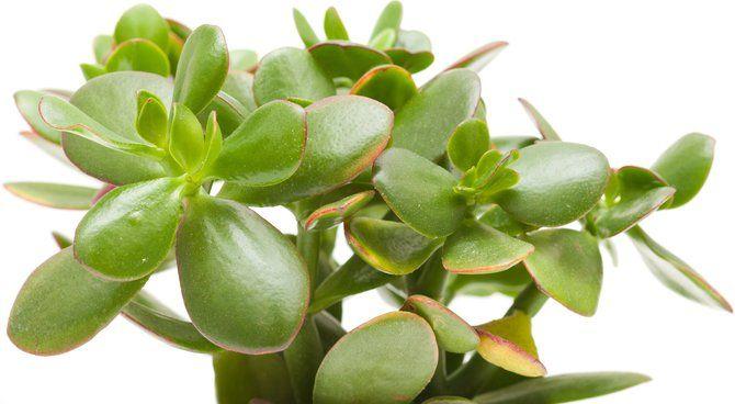crassula conseils d 39 entretien plantations pinterest entretien conseils et plantes. Black Bedroom Furniture Sets. Home Design Ideas