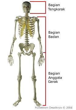 Gambar Rangka Badan : gambar, rangka, badan, Hasil, Gambar, Untuk, Rangka, Badan, Tengkorak, Gambar,, Tengkorak,, Anatomi, Manusia