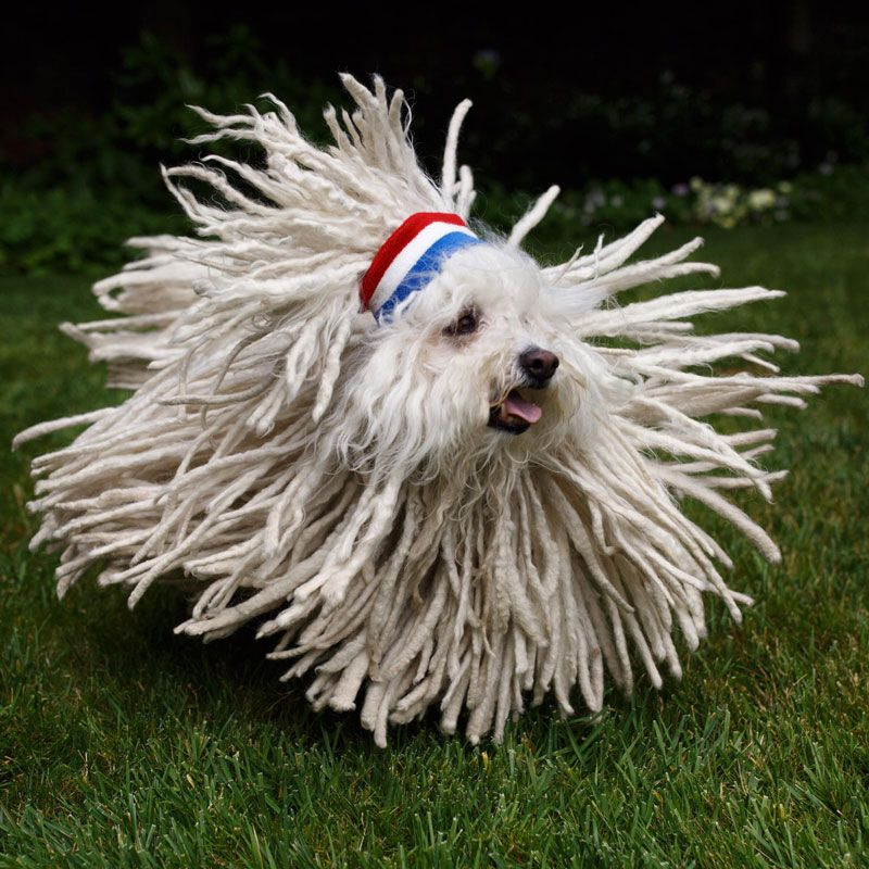 Picture Of The Day Not Sure If Dog Or Mop Komondor Dog Most Expensive Dog Dog With Dreads