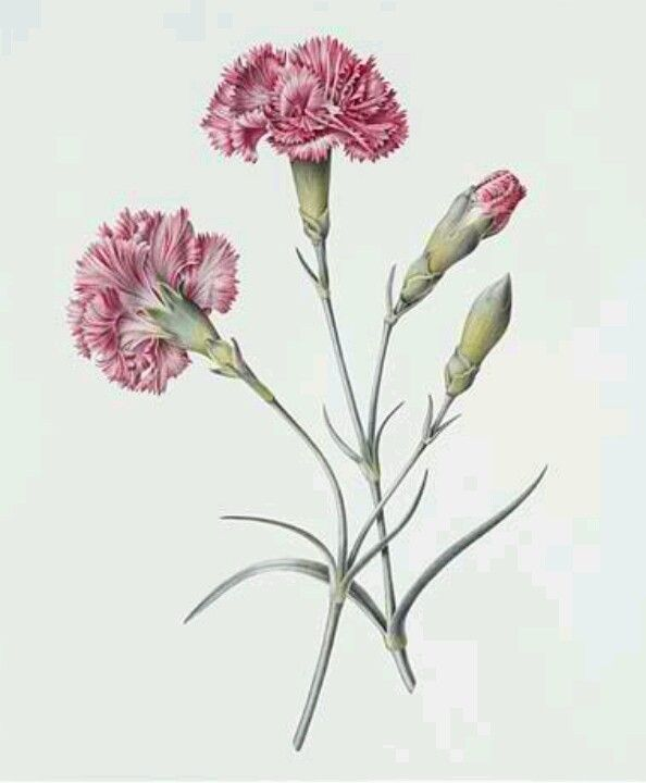 Carnations Botanical Drawings Flower Painting Carnation Drawing