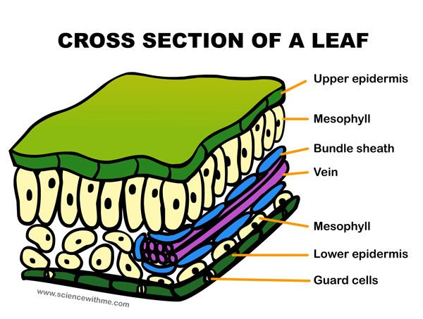 Leaves Are The Plants Food Factory A Leaf Is A Flat Thin Plant Organ That Uses The Sun To Make Its Own Food Science For Kids Science Activities Leaf Lessons