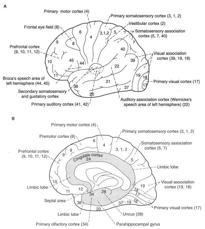 Brodmann Areas | Brain anatomy, Neuroscience