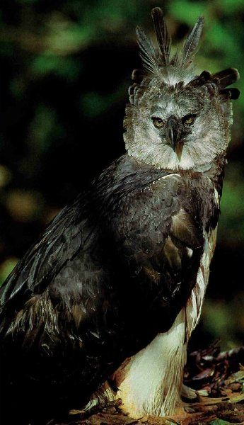 harpy eagle from national geographic. | Animals beautiful ...