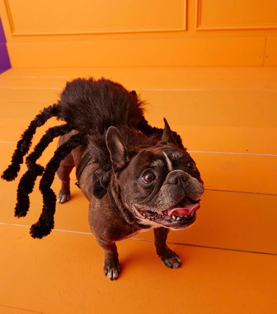 Diy Spider Dog Costume Omg This Is So Funny Dog Halloween