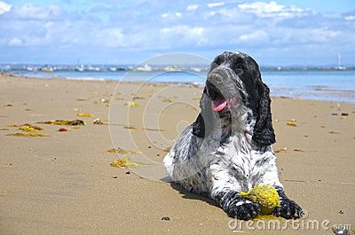 English Cocker Spaniel dog playing with a tennis ball on the beach