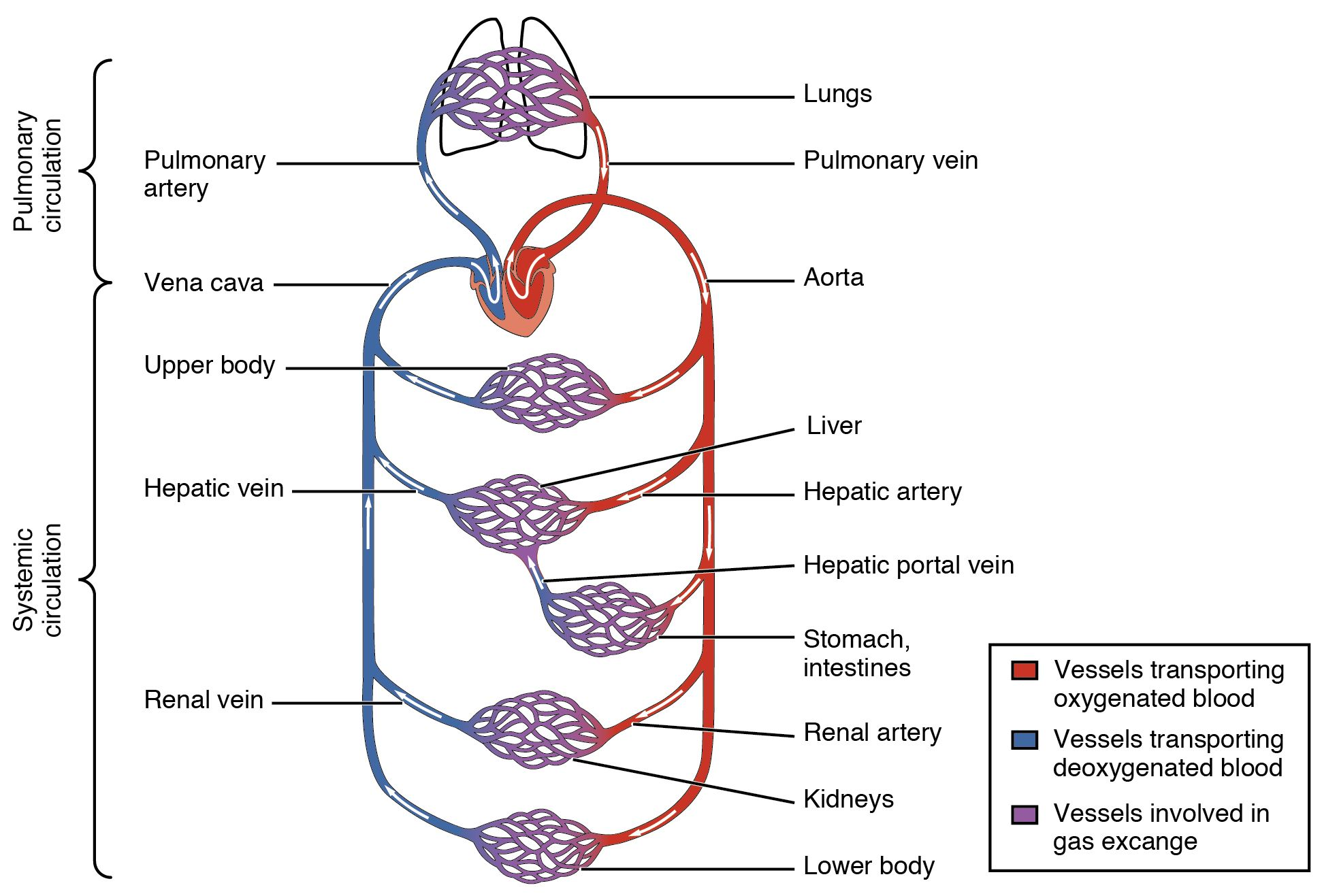 Heart Circulatory System 2101 Blood Flow Through The Heartg