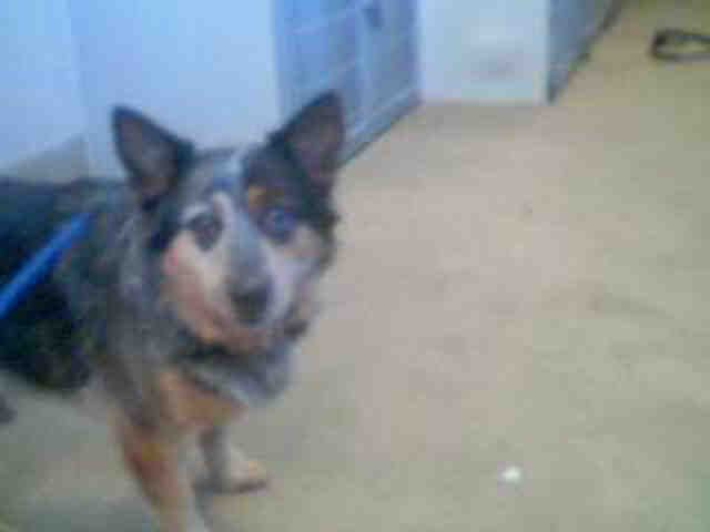 Bosley A Male Black And White Queensland Heeler And Welsh Corgi Pembroke Mix Available For Adoption In Sacramento Corgi Pembroke Corgi Pembroke Welsh Corgi