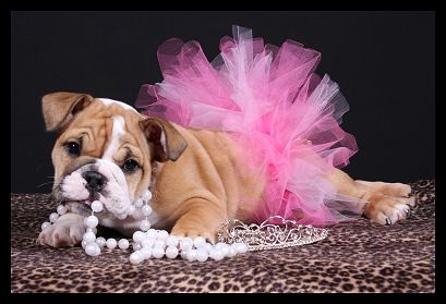 A Special Lil Bullie Girl Puppy Photography Puppy Photos