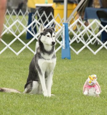 Myth Busting The Breeds The Husky K9 High Dog Training Inc Lola