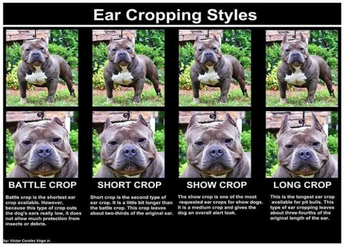 Benefits Of Clipping Your Dog S Ears