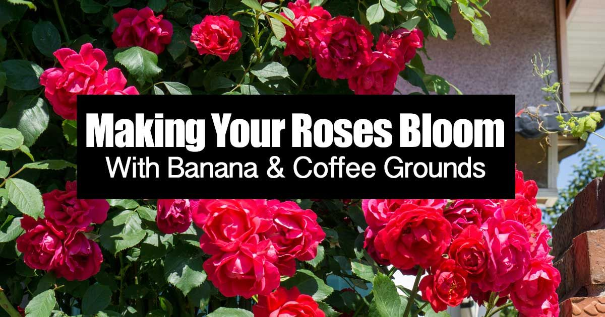 Making Your Roses Bloom With Banana Blooming Rose Banana Coffee Coffee Grounds