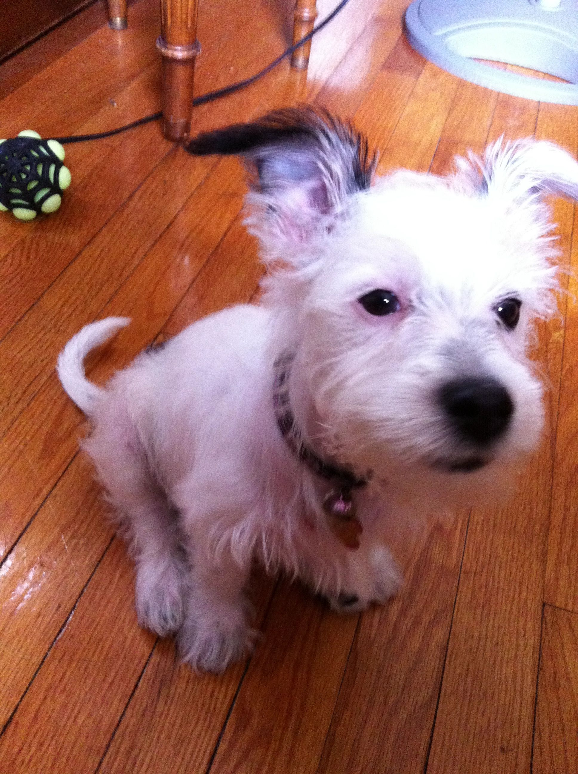 Our little Schnack! Miniature Schnauzer and Jack Russell mix