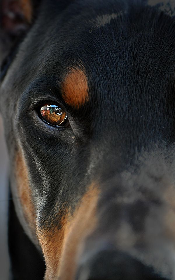 Look Into My Heart Beautiful Dogs Dogs Doberman Dogs
