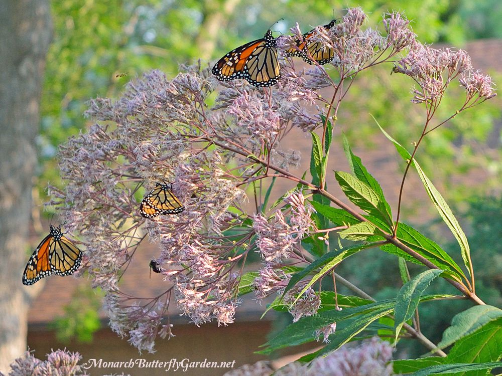 High Quality Butterfly Plants List  Butterfly Flowers And Host Plant Ideas