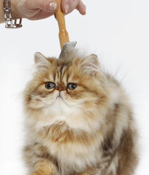 10 Persian Cat Facts Cat Facts Persian Cat Cats
