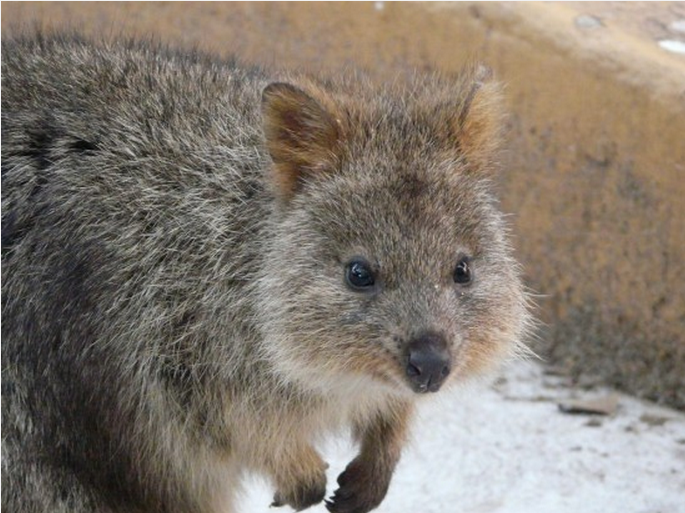 Este indivíduo peq é um quokka, um marsupial que só pode ser encontrado na Austrália Ocidental