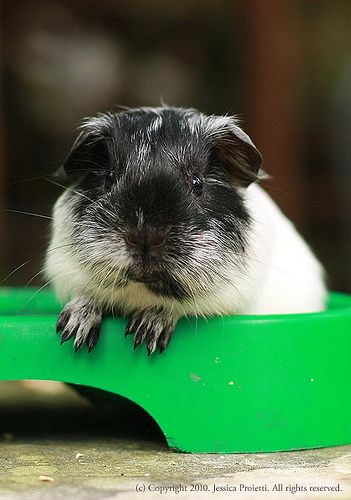 Pin On Share Anything Guinea Pig Here