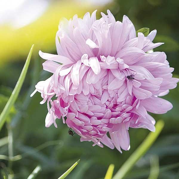 gekauft sommeraster 39 duchess rose 39 samen brauchen volle sonne bis 80 cm hoch folgesaaten. Black Bedroom Furniture Sets. Home Design Ideas