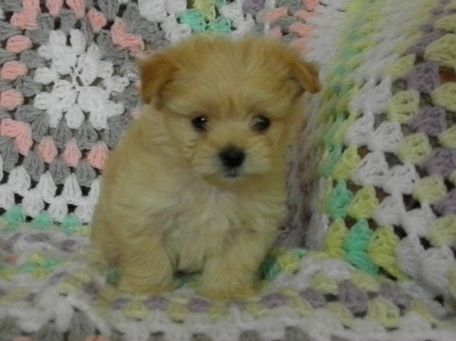 Maltese Shih Tzu Puppies For Sale Melbourne Zoe Fans Blog Shih