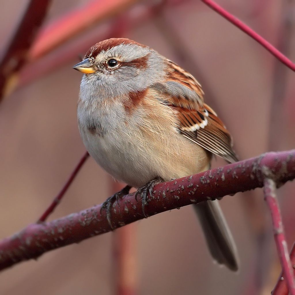 american tree sparrow bird life list pinterest bird and life
