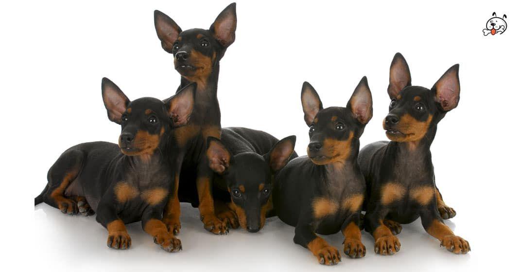 Miniature Pinscher Puppies For Sale Puppies 4 All Miniature Pinscher Puppy Toy Dog Breeds Terrier Dog Breeds