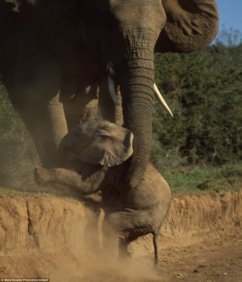 A Helping Hand: An elephant mother helps her baby who is too small to climb the bank to follow it's family. Addo Elephant National Park, South Africa. Photograph: Mark Bowler.
