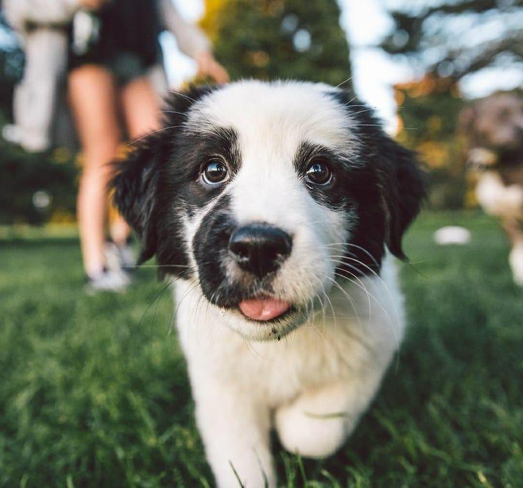 Pin On Saint Bernard Dogs