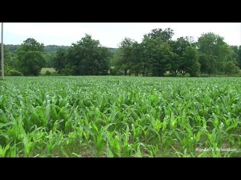 Bird Sounds Over the Corn Field 8 Hours of Relaxation