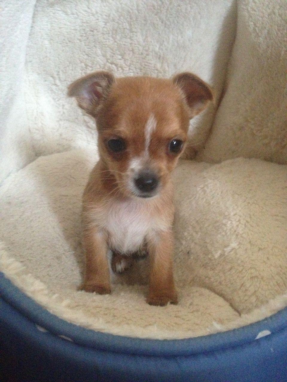 Chorkie Boy Puppy Puppies Cute Puppies Unique Dog Breeds