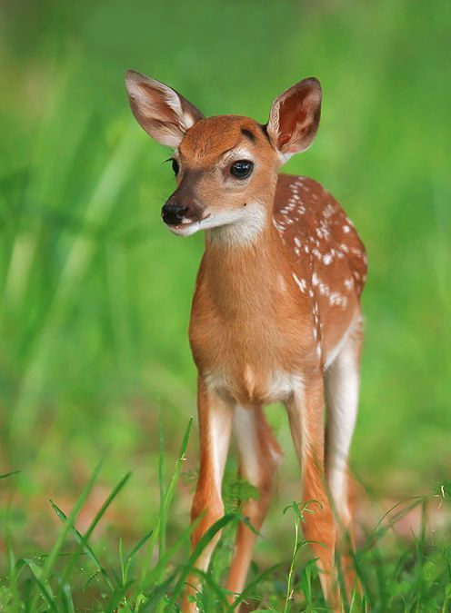 Spotted. | Deers | Cute Animals, Animals beautiful, Nature ...