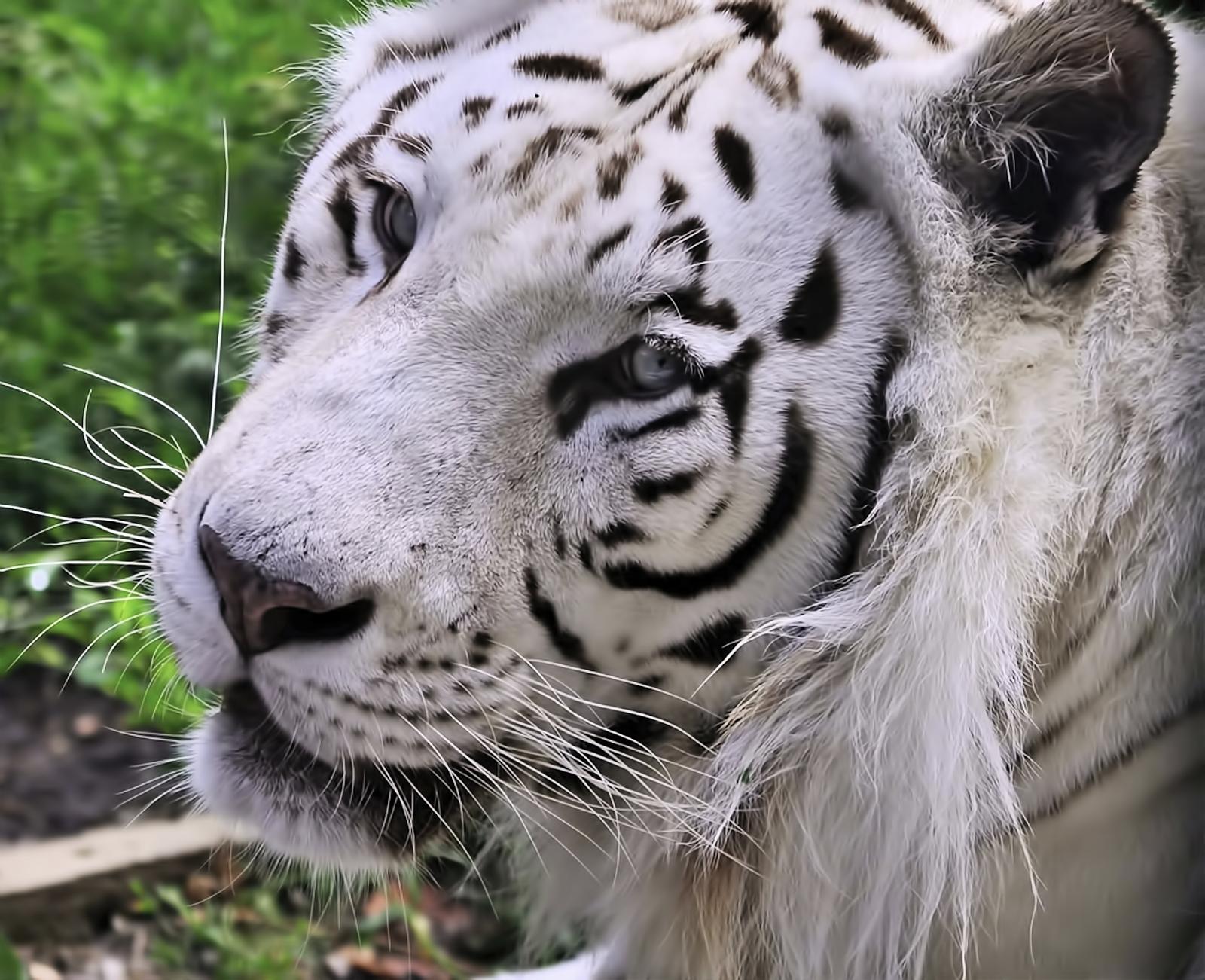 WhiteTiger0052.png 1920x1561x24(RGB) #white #tiger  #animal #endangered #predator #majestic
