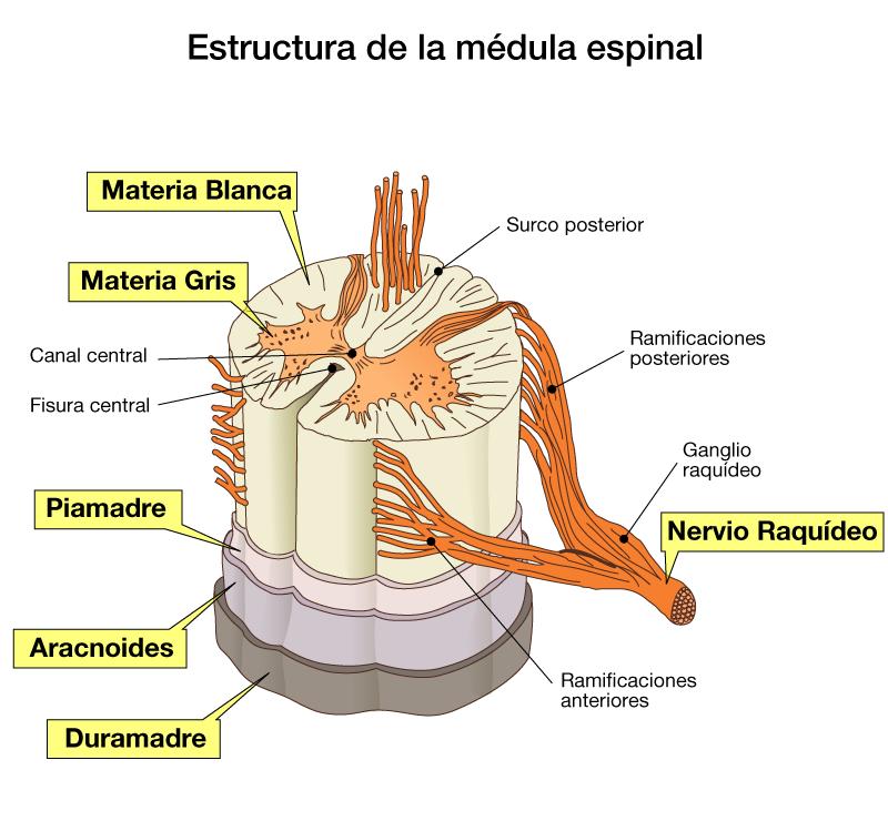 SISTEMA NERVIOSO CENTRAL - MÉDULA ESPINAL | Neuro | Pinterest ...