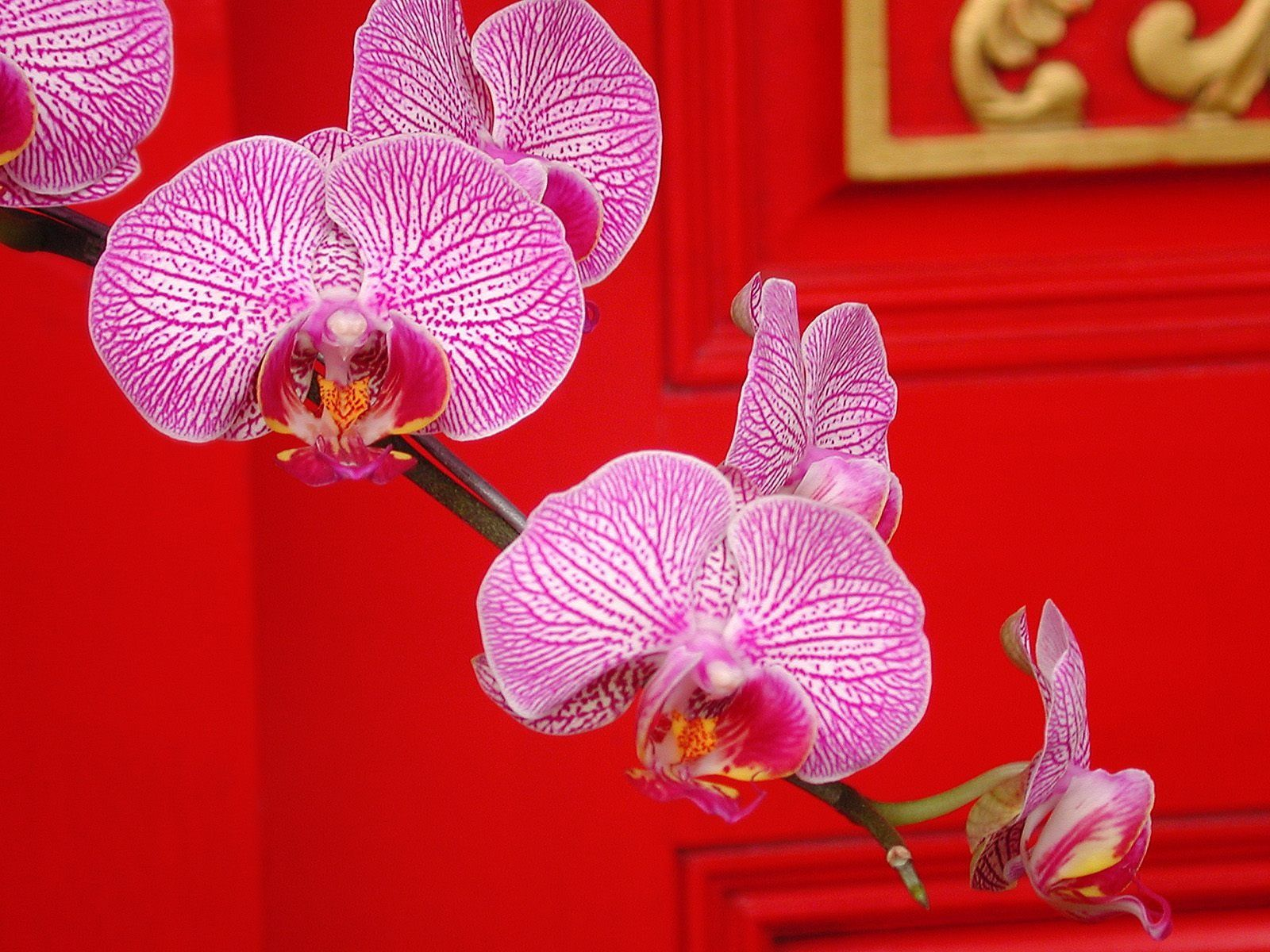 Orchid american orchid society phalaenopsis flowers beautiful r