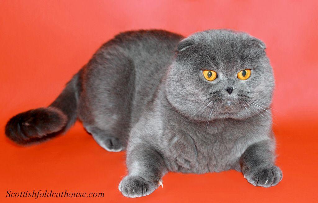 Scottish Folds And British Shorthair Kittens For Sale With Images Kitten For Sale Scottish Fold British Shorthair Kittens