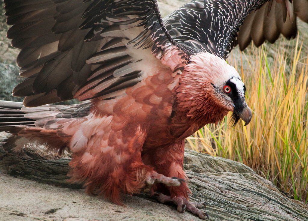 is a bearded vulture diet