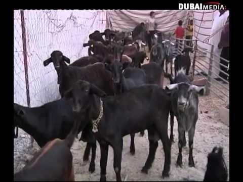 اكبر فحل عارضي في العالم Youtube Animals Horses